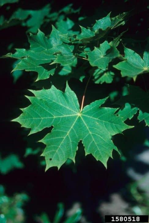 Sycamore Maple Acer Pseudoplatanus