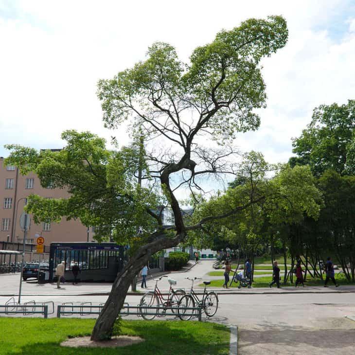 Tatarian Maple Acer tataricum