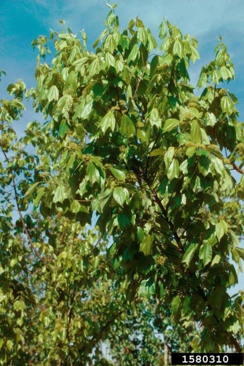 Trident Maple acer buergerianum