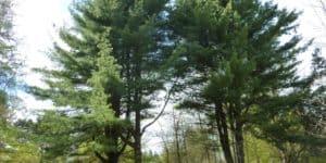 Two Eastern White Pine Pinus Strobus