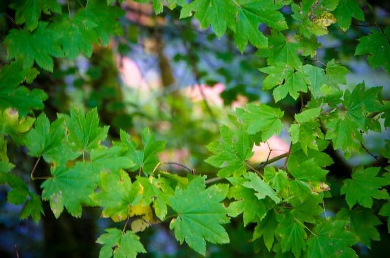 Vine Maple Acer Circinatum in Mt Hood Oregon