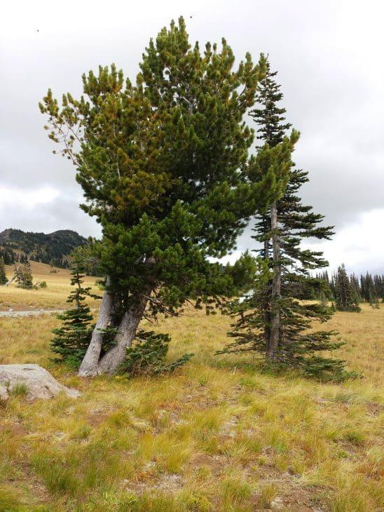 White Bark Pine Pinus Albicaulis