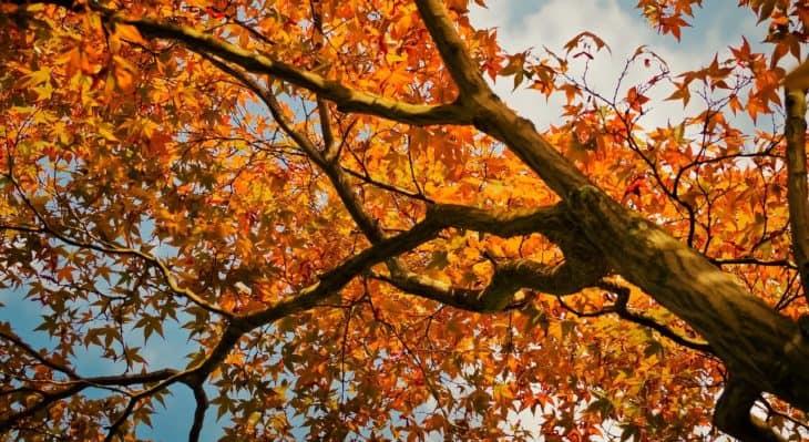 maple trees in colorado