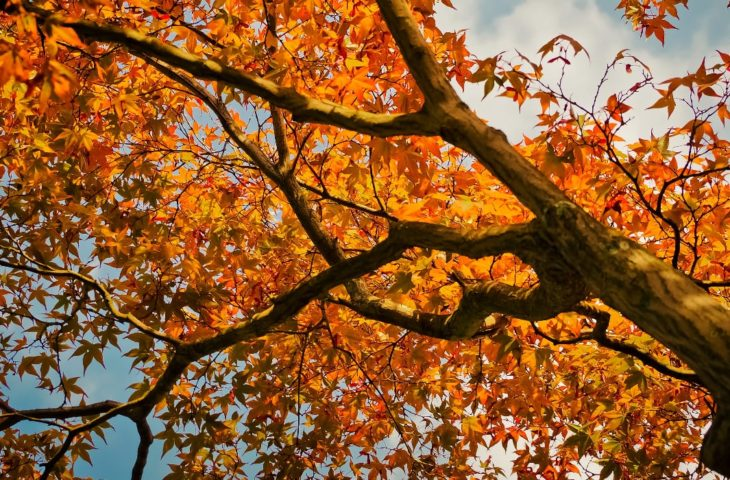 7 Beautiful Types Of Maple Trees In Colorado Progardentips