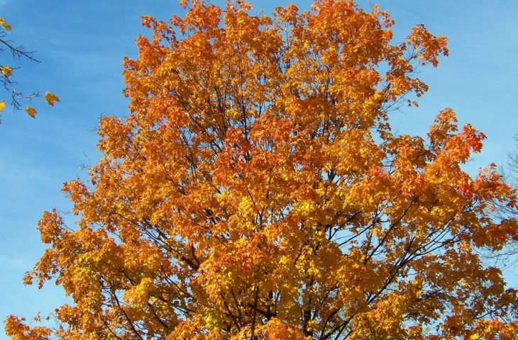 3 Different Types Of Maple Trees In Maine Progardentips