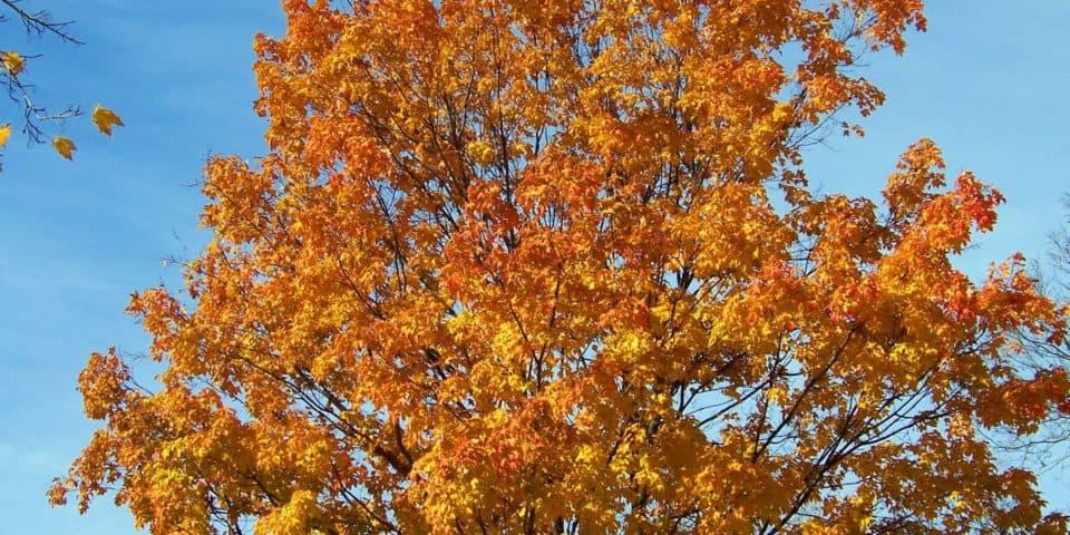 maple trees in maine