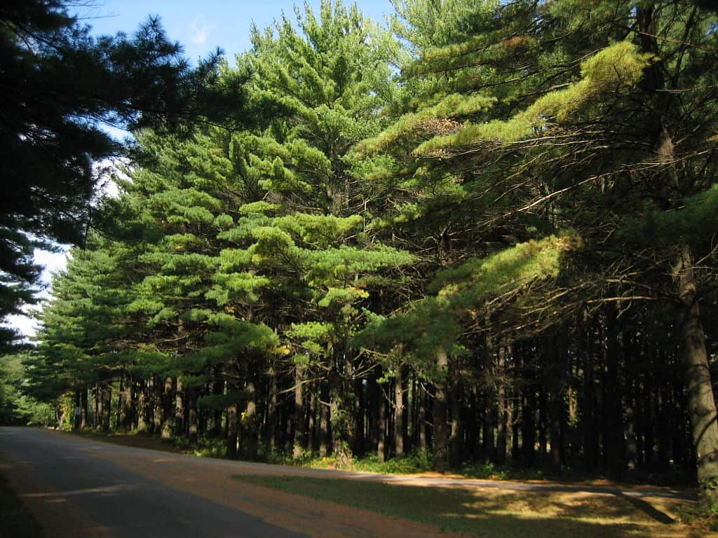 native White Pine stand in Illinois