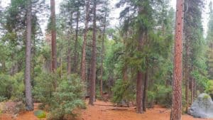 panorama of california woods