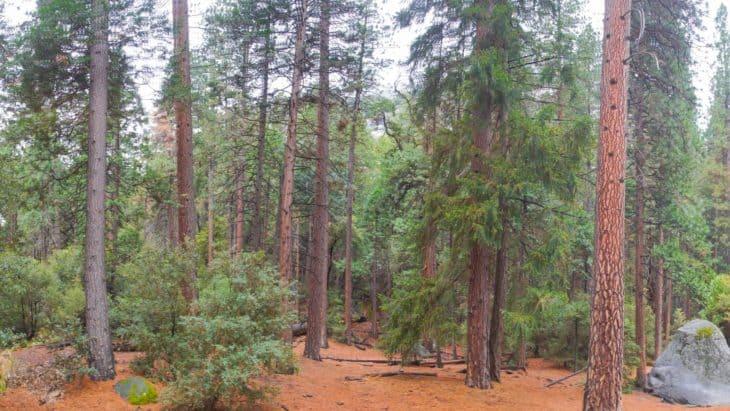 panorama of california woods