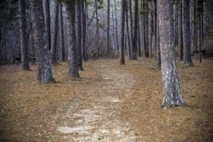 path into the pine trees at hawn state park missouri