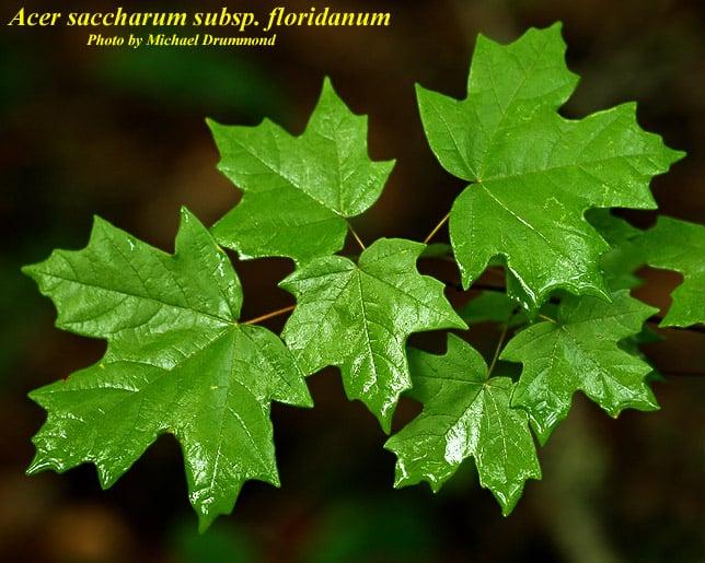 Acer saccharum floridanum