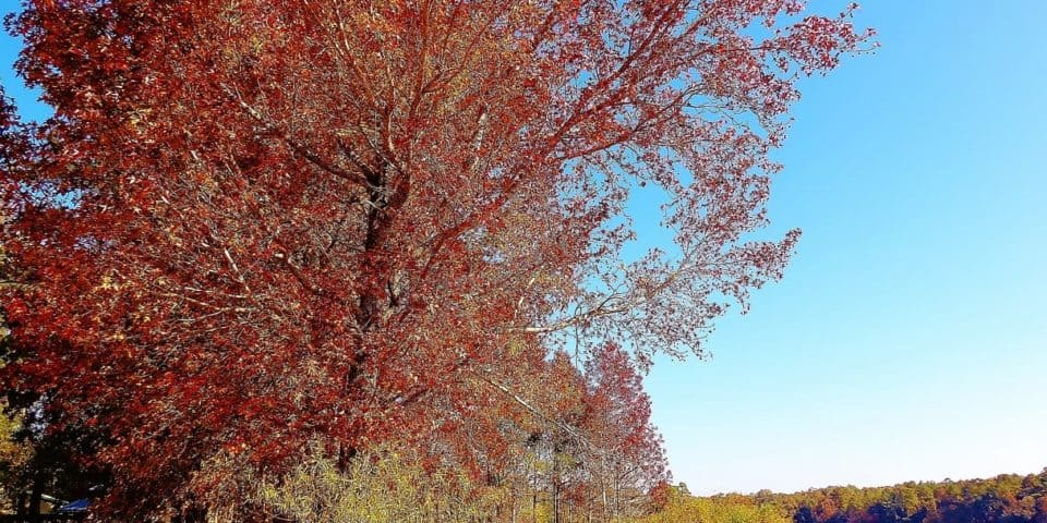 Maple tree in Chipley Florida