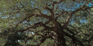 Angel Oak outside of Charleston South Carolina