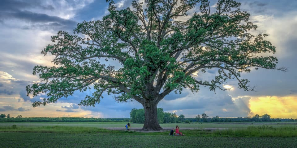 Burr Oak Tree Missouri
