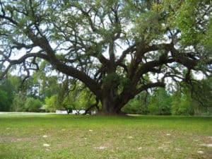 Large Oak at Orton Plantation Oak Island North Carolina