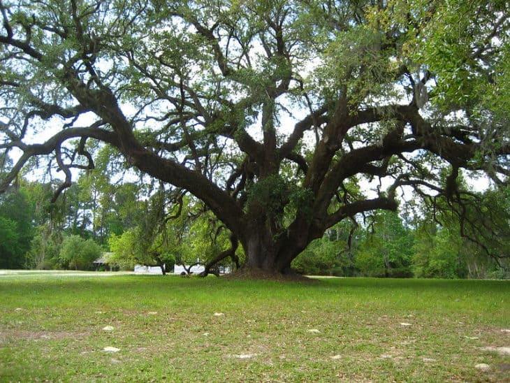 Large Oak at Orton Plantation Oak Island North Carolina