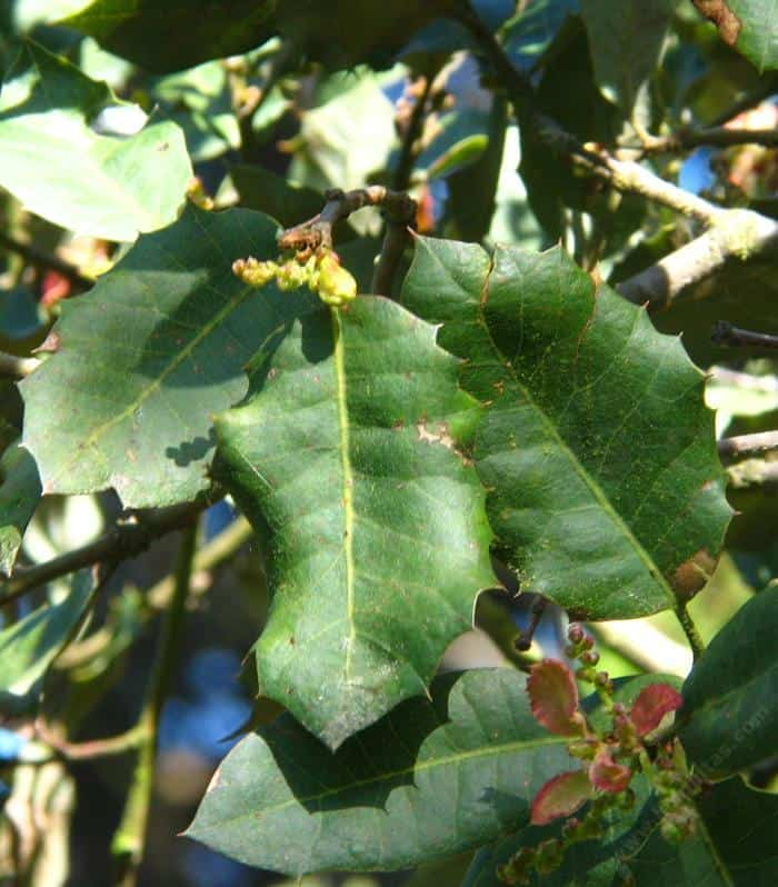 Quercus Dunnii
