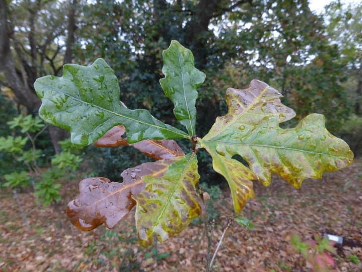 Quercus Durandii