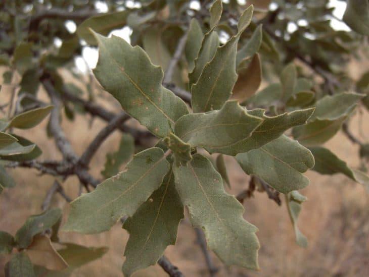 Quercus Grisea
