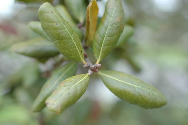 Quercus Myrtifolia