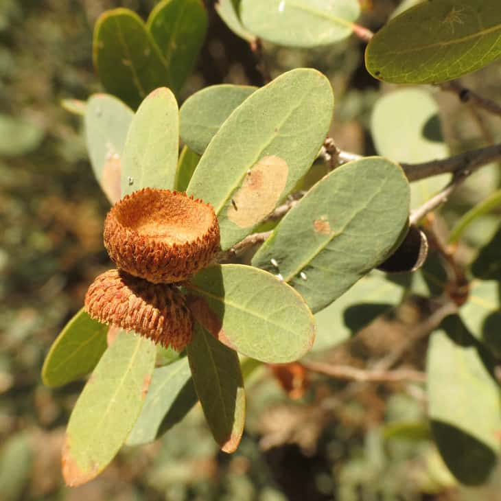Quercus Oblongifolia