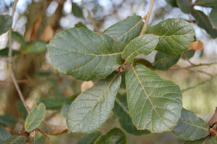 Quercus Reticulata