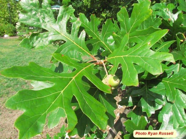 Quercus X Schuettei