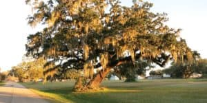 Sandy Point Texas Live Oak
