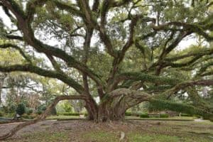Seven Sisters Oak Louisiana