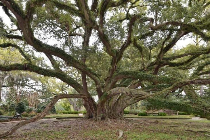 Seven Sisters Oak Louisiana