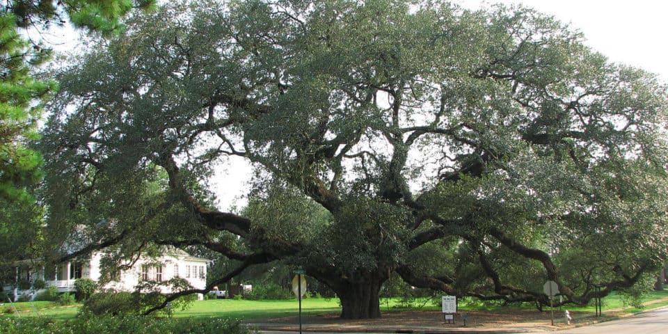 The Big Oak in Georgia