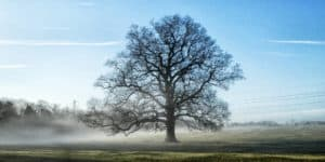 Winter Oak tree in mist