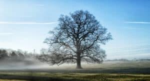 Winter Oak tree in mist