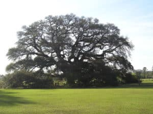 Constitution Oak in Geneva Alabama