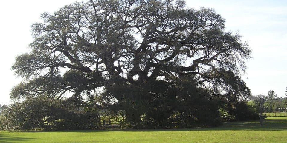 Constitution Oak in Geneva Alabama