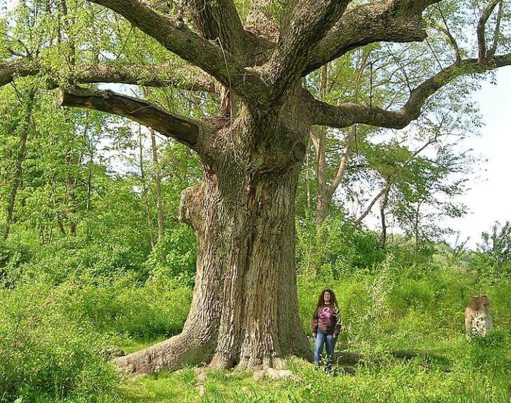 Sacred Oak Oley Township Pennsylvania