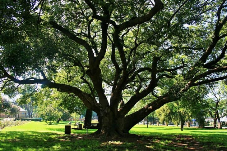 majestic oak tree in oklahoma
