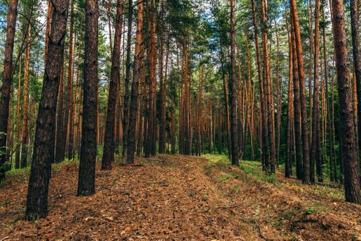 Dirt road in pine wood
