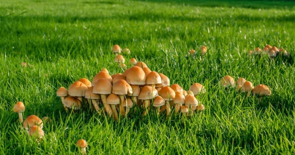 Mushrooms on a green lawn