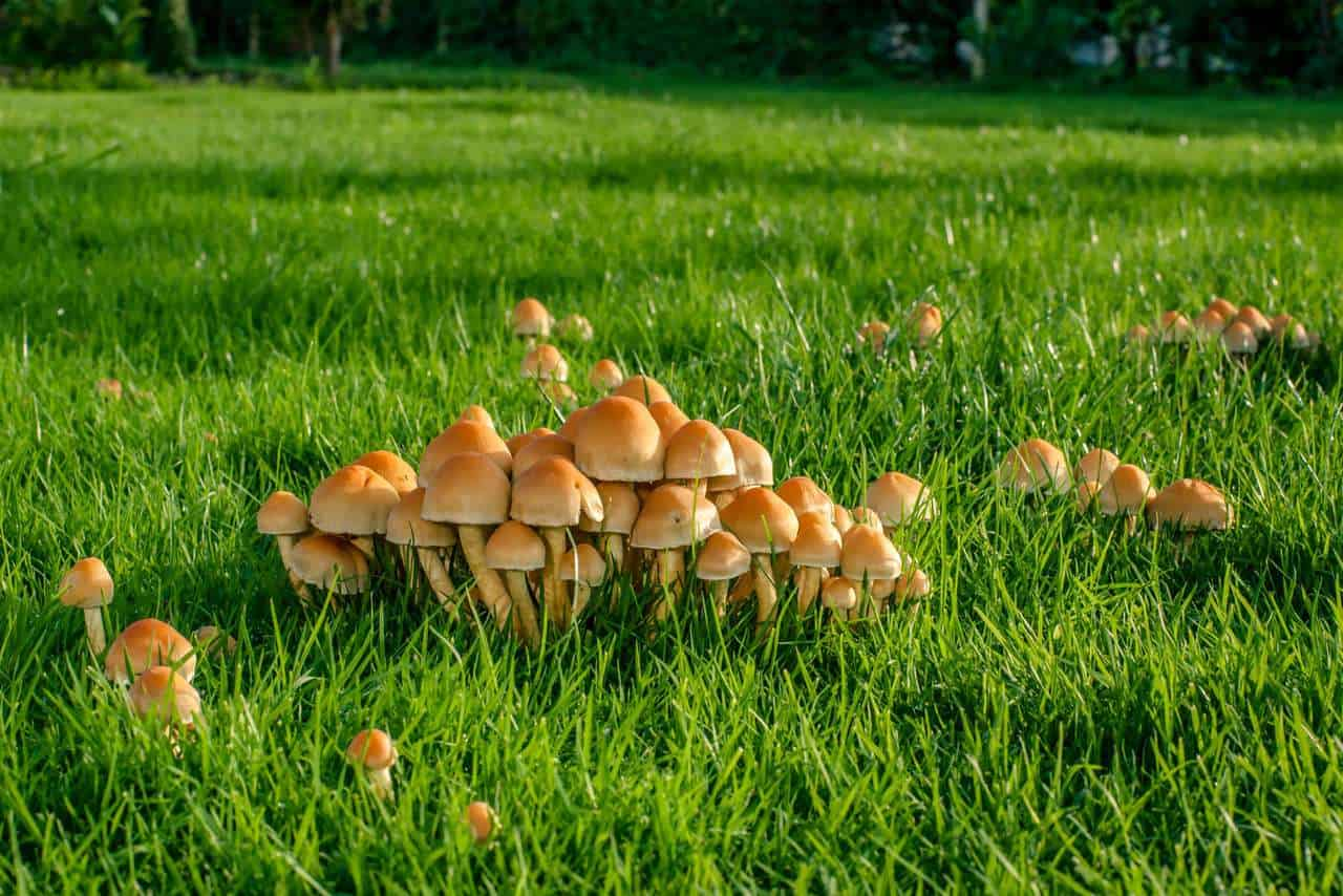 Mushrooms on a green lawn