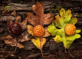 Oak leafs and galls