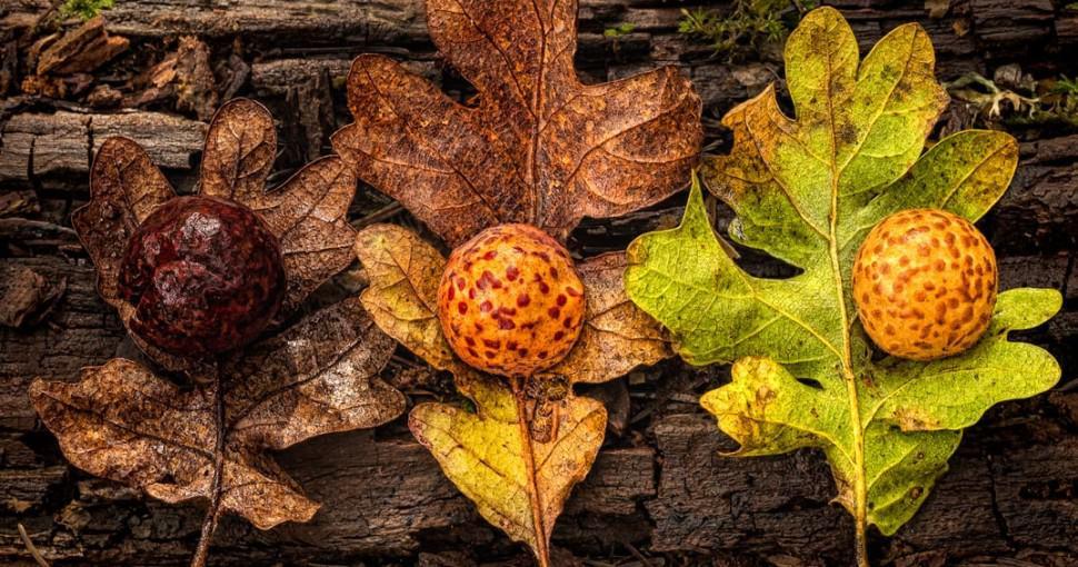 Oak leafs and galls