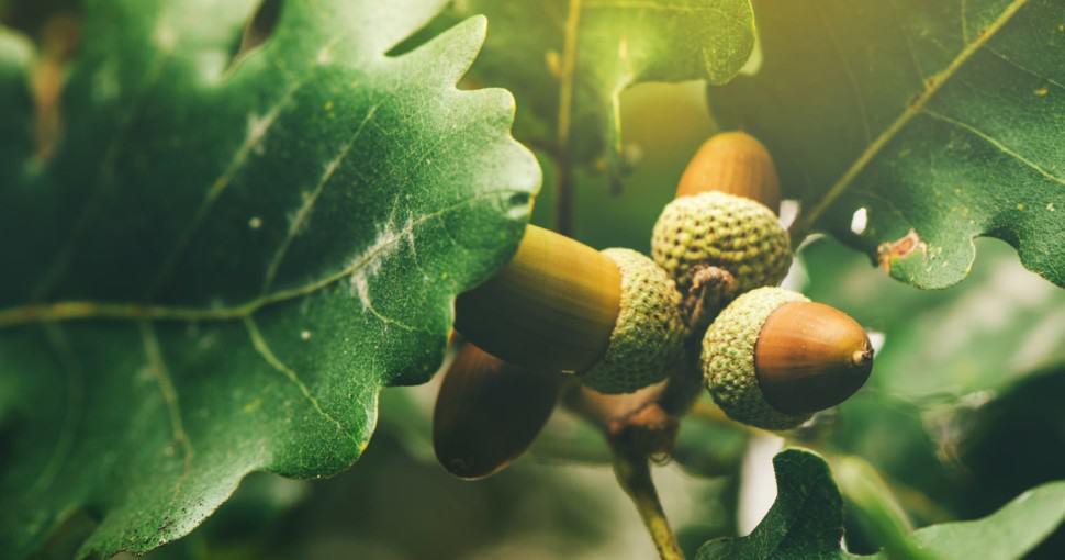 Oak tree branch acorn nut