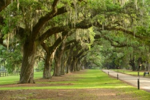 a row of old oak tree from a plantation near Charleston south carolina