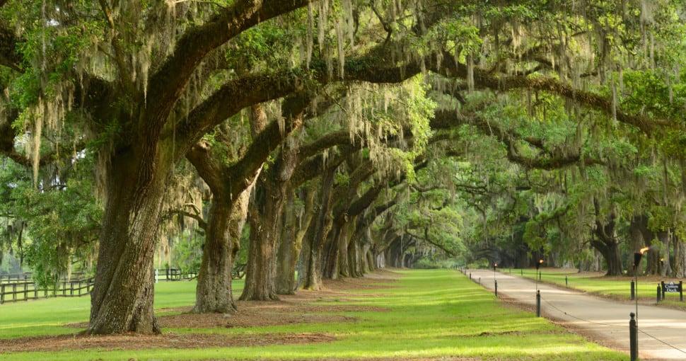 a row of old oak tree from a plantation near Charleston south carolina