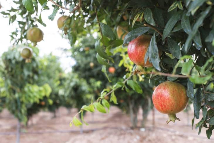 28594714 pomegranate trees