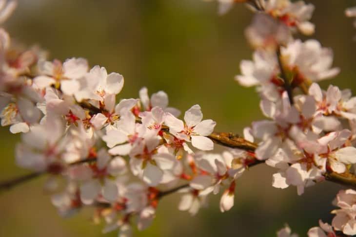 Apple tree pollen blossom