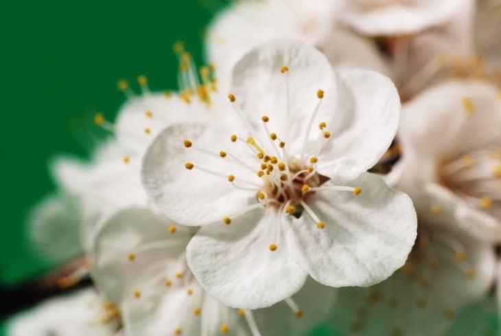Apricot fruit tree pollen blossom