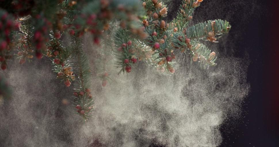 Black Spruce Tree releasing Pollen