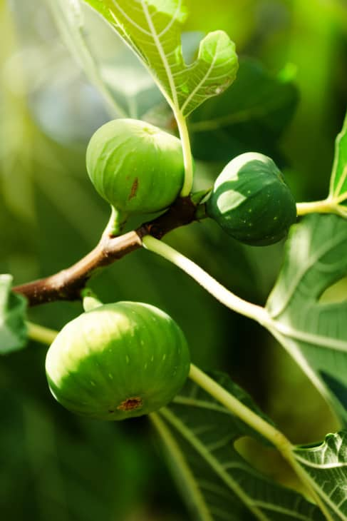 Green fig fruit on the branch